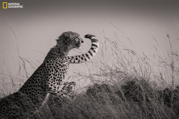 V prírodnej rezervácii Masai Mara v Keni sa učia loviť mláďatá geparda Malaika.