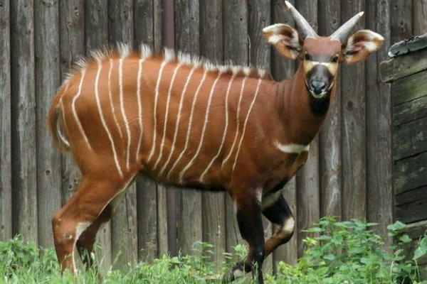 """Špecifický pre antilopu bongo je prehnutý """"kaprí"""" chrbát, ktorý je uspôsobením na podliezanie pralesných porastov."""