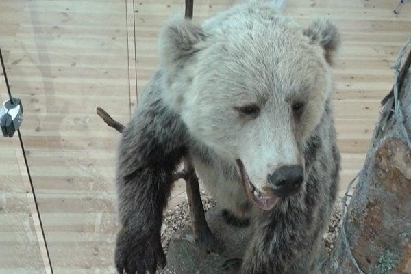Vypreparovaný medveď hnedý v priestoroch múzea vo Zvolene.