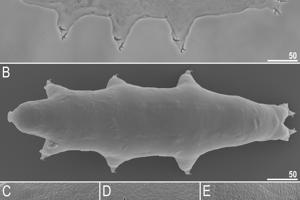 Pohľady na telo nového druhu pomalky. Zábery C,D,E ukazujú zväčšené póry na povrchu tela.