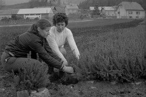 Na archívnej snímke z 23. apríla 1976 lesná škôlka v Lokci na Orave. Pracovníci Lesného závodu Oravský Podzámok, lesná správa v Lokci, vypestovali v piatej päťročnici sadenice na zalesnenie vyše 1.150 hektárov lesných plôch. Ročne vypestujú na ploche niečo vyše jedného hektára 1,6 milióna semenáčkov ihličnatých drevín, z toho tri šťvrtiny smrekov vo fóliových skleníkoch.