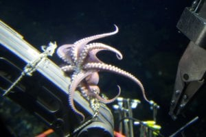 Chobotnica na manipulačnom ramene ponorného plavidla.