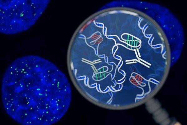 Ilustrácia štruktúry i-motif (zelená) v DNA vnútri buniek.