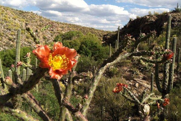 Slávne kaktusy saguaro dostávajú mikročipy.