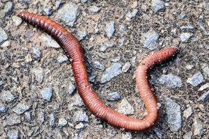 Niektoré červy, pijavice a niektoré morské červy majú zelenú krv.