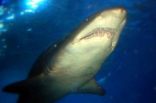 Rozmery akvária v Perthe umožňujú chov obrovských žralokov.