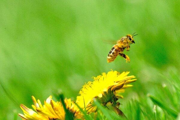 Včielka pri práci.