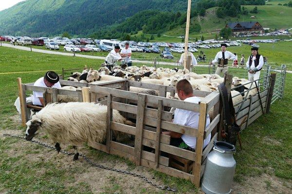 Ovce počas otvorenia salašníckej sezóny v mikroregióne Terchovskej doliny.