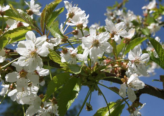 Rozkvitnuté čerešňové kvety.