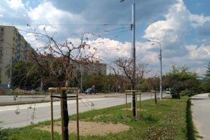 Stromy vysadené pred pár týždňami aj napriek polievaniu vyschli.