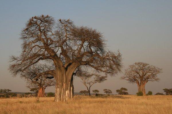 Baobaby v južnej Afrike.