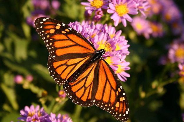 Babôčka smradľavá - monarch butterfly.