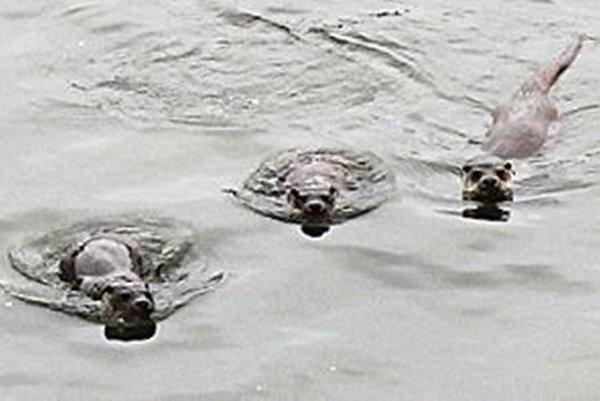 Vydria rodina žije aj v Nižnej pod lavičkou v rieke Orava.