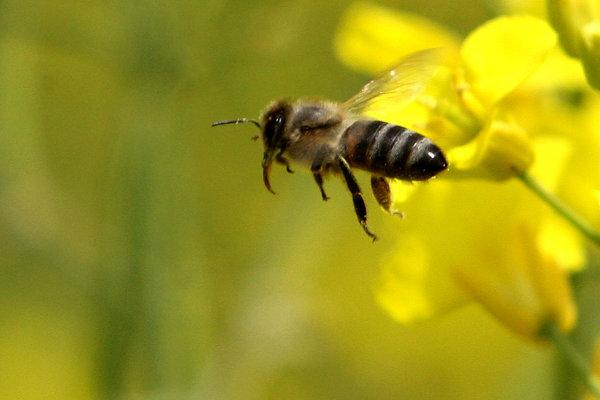 Včely aj osy reagujú rovnako, ak si muž dá kolínsku.