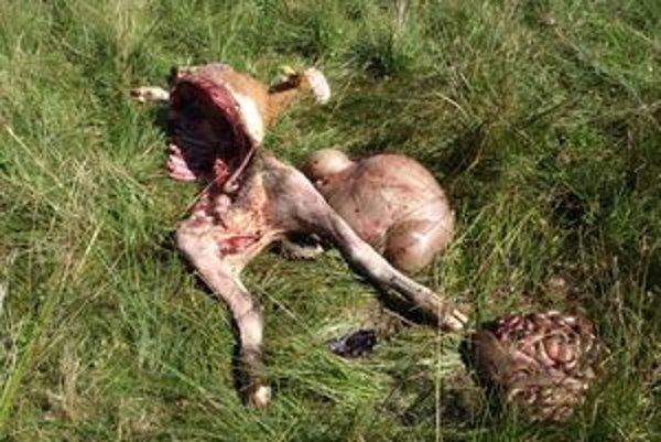 Z jedného teľaťa zostalo len toto. Vlci ho zožrali takmer celé.