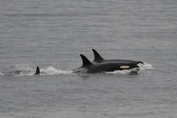 Kosatka J35 (v popredí záberu) pláva s inými kosatkami. Svoje mŕtve mláďa už opustila a kŕmi sa.