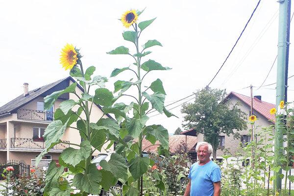 Ján Vnenčák sa o slnečnice aj ďalšie kvety stará s manželkou Boženou.