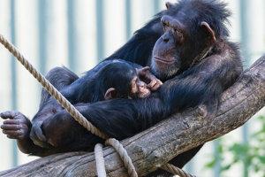 Samica šimpanza s mláďaťom.