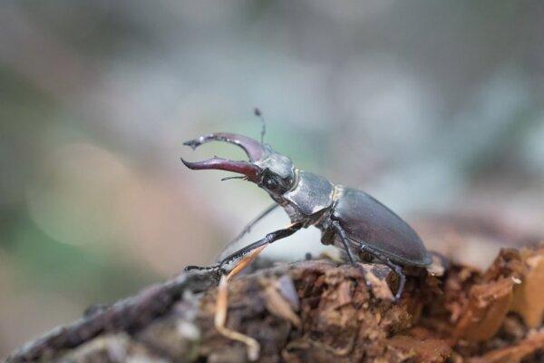 Samca roháča objavili v Národnej prírodnej rezervácii Veľká Rača.