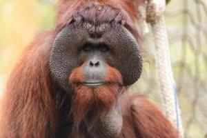 Samec orangutana bornejského. tento endemický druh orangutana patri medzi ohrozené druhy. Ohrozuje ho odlesňovanie, plantáže na palmový olej a lov. Vo voľnej prírode žije zhruba 54500 jedincov orangutana bornejského.