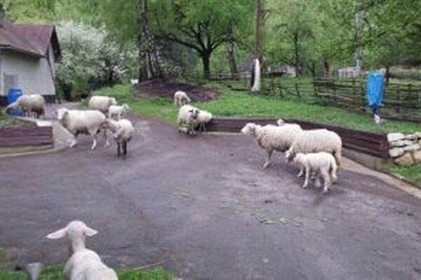Rozľahlý pozemok aktuálne slúži len na pastvu pre ovce.