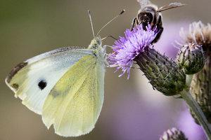 Motýľ mlynárik a včela na kvete bodliaka.