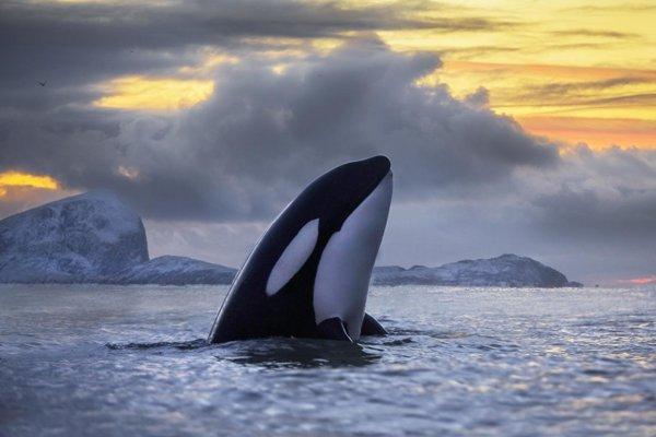 Polychlórované bifenyly ohrozujú kosatky, v ich telách namerali vysoké hladiny.