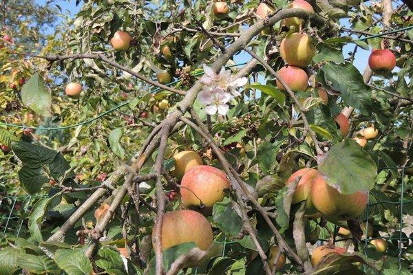 Jablone kvitnú a rodia naraz.