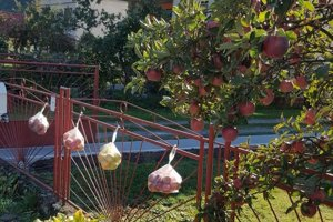Jabĺčka zdrobili ich plot.