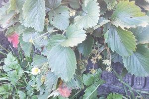 Tieto jahody rozkvitli v polovici novembra. Plody už asi dozrieť nestihnú.