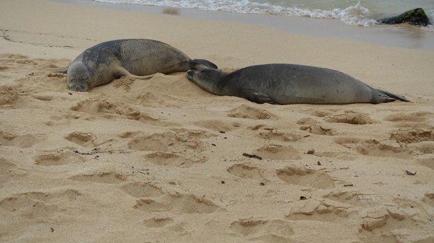 Spiace tulene havajské na pláži Poipu Beach