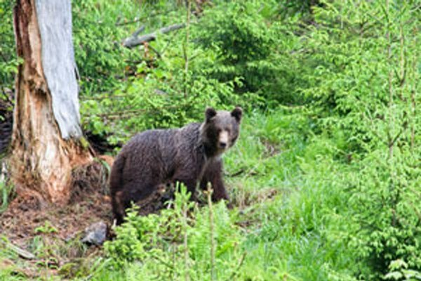 Medveď schádza z lesa k rodinným domom. Výnimka na odstrel platí do konca novembra.