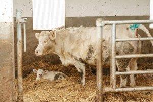 Krava s teliatkom, ktoré má len pár dní.