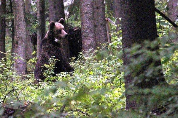 Medveď si vyberal naozaj atraktívne trasy pohoriami.