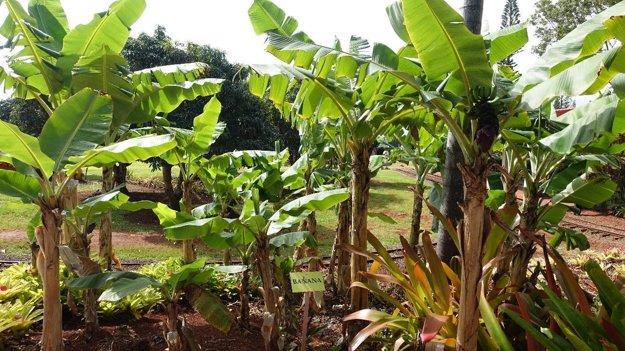 Banánovníky vDole plantation