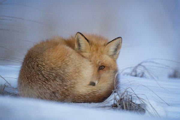 Zvieratá sa v snahe uniknúť za každú cenu dávajú na útek, často aj cez veľmi nepriaznivý terén, čo môže spôsobiť ich smrť či zranenie.
