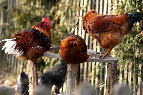 Geneticky upravené sliepky môžu znášať vajíčka s dôležitými proteínmi na výrobu liekov proti rakovine.