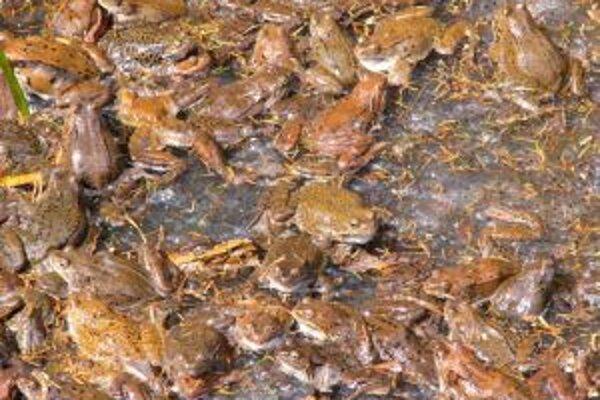 Tisícky žiab zachránili pred uhynutím pod kolesami áut.