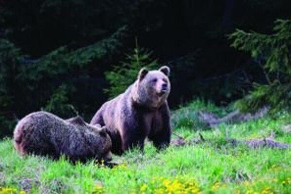 Vidieť medvede počas ruje sa nepodarí bežnému návštevníkovi hôr preto, lebo počas obdobia párenia sú veľmi plaché.