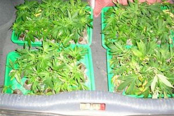 Marihuana, slangovo nazývaná aj tráva, mariška, džoint či gandža, je považovaná za ľahkú drogu. Conope Canabis obsahuje psychoaktívnu látku THC - tetrahydrokanabiol.