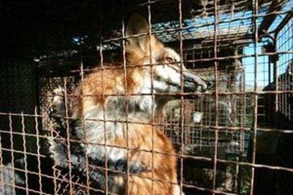 Líšku chytenú na sídlisku Nábrežie v Liptovskom Mikuláši poslali na preskúmanie na Štátnu veterinárnu a potravinovú správu do Dolného Kubína.