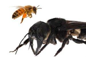 Všela Megachile pluto vpravo.