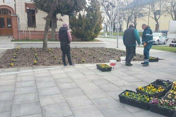 S príchodom jari vysadila šalianska radnica do záhonov akvetináčov vmeste 300 sirôtok.