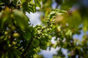 Na stromoch sa začínajú objavovať už marhule.