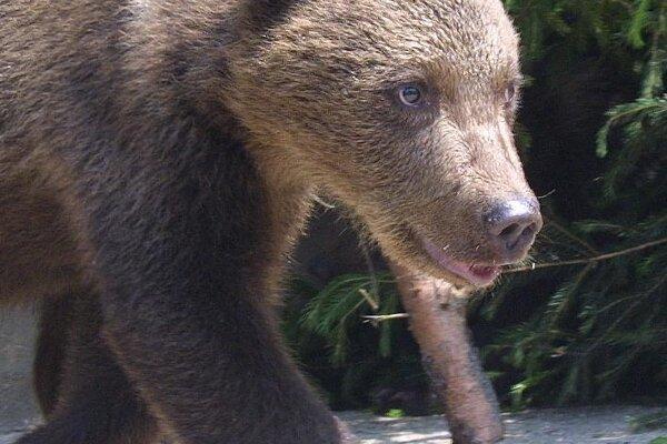 V obci videli aj medvedicu s mladými. Ilustračné foto.