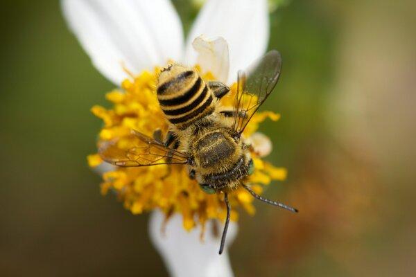 Včela druhu megachile rotundata. Argentínski vedci si myslia, že práve tento druh si v ich včelom hoteli vytvoril hniezdo z plastu.