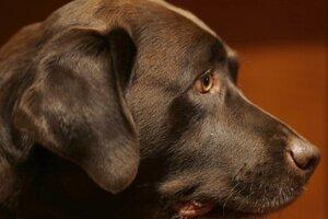 Vedci si nemyslia, že psy využívajú svoj pohľad úmyselne s cieľom manipulovať ľudí.