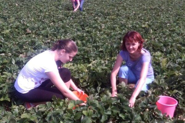 Na jahodách v Socovciach.