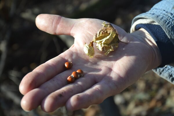 Plody klokoča. Vyrábali z neho ružence.