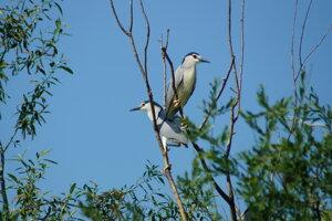 Na ostrove sa zdržiava aj chránený Chavkoš nočný, ktorý hniezdi v kolóniach.